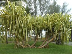 Papeete vegetazione