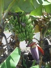 Isola Pasqua Hanga Roa banano