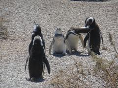 valdes pinguini