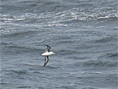 mare argentino albatros
